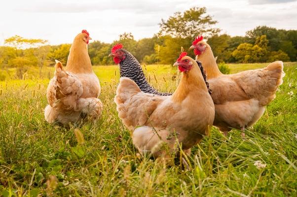 Schutz vor der Vogelgrippe: die Notwendigkeit sauberer Materialien
