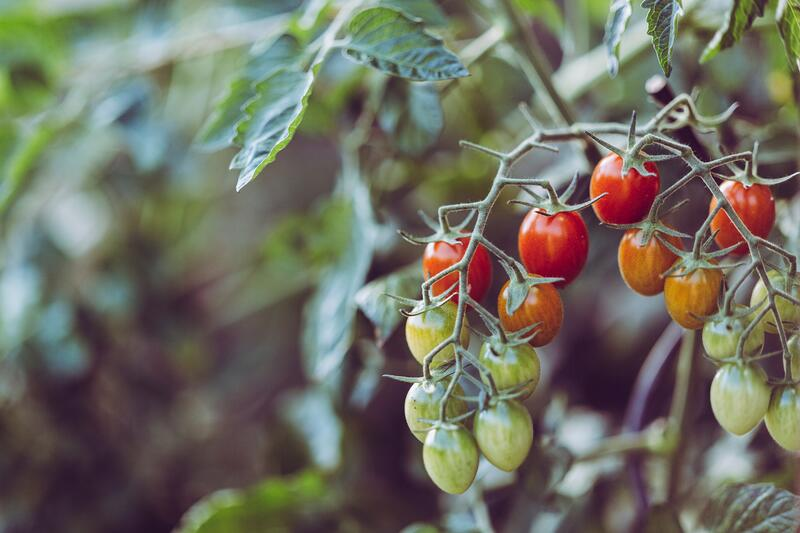 Does your tomato farm meet hygiene regulations?