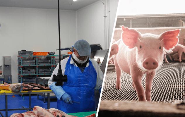Antibiotikareduktion in der Schweinehaltung durch bessere Hygiene