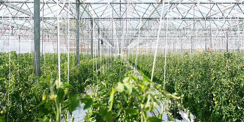 Hygienemaßnahmen im Gewächshaus: Lebensmittelproduktion versus Zierpflanzenbau