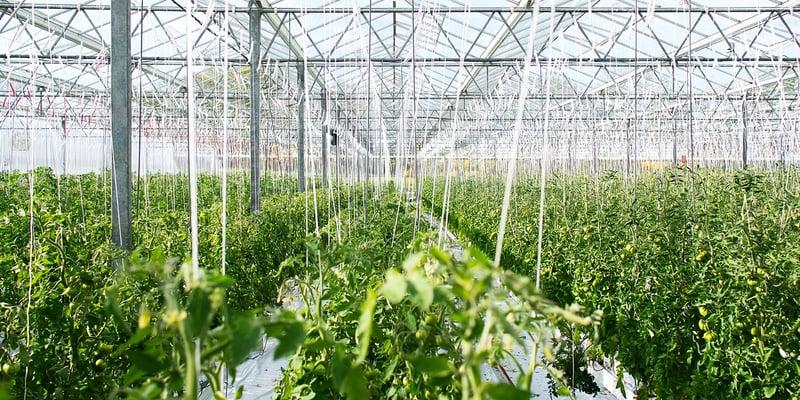 Tomatenziektes: voorkomen is beter dan bestrijden