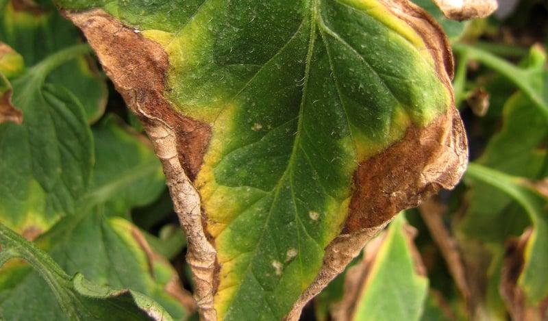 Veelvoorkomende tomatenziektes en plagen, hoe voorkomt u ze?